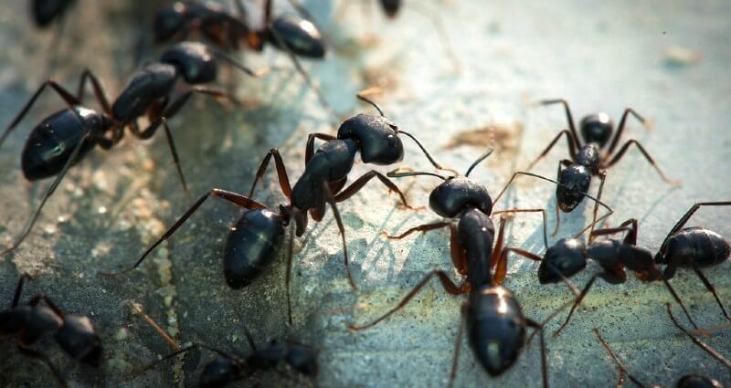 Ant Control Services In Albuquerque, NM